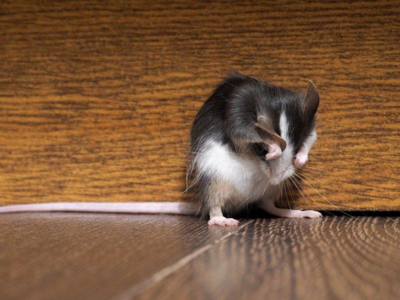 Молитва от крыс и мышей