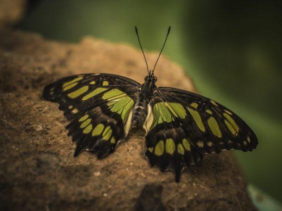 К чему бабочка залетает в дом или квартиру