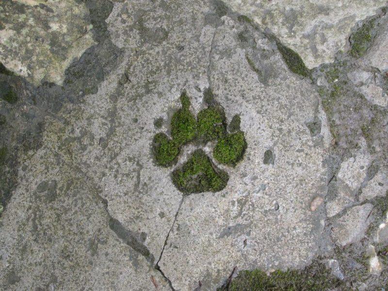 Печать Велеса волчья и медвежья лапа значение оберега бога-медведя