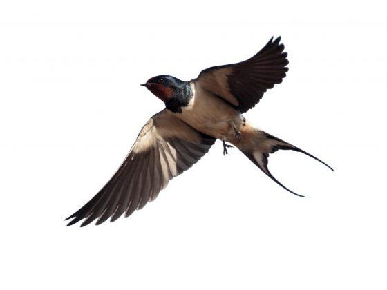 Приметы о полёте ласточек