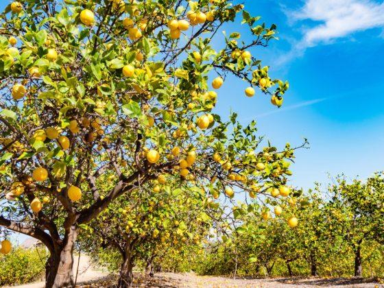 Лимонное дерево для тяги к знаниям