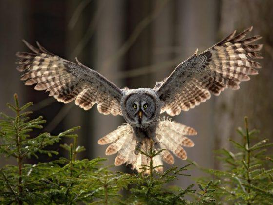 Значение совы по фен шуй