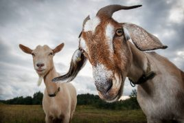 Значение козы во сне