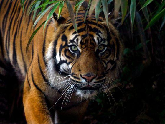Рыжий тигр приносит счастье