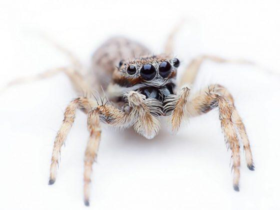 Белый лохматый паук сниться к интригам