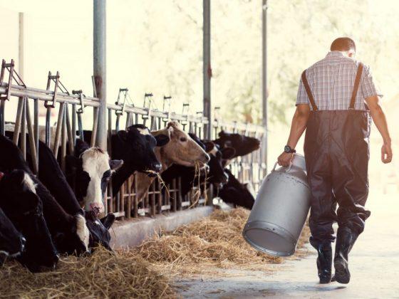 Доить стадо коров – к большим переменам