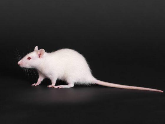 Толкование сновидений с белыми крысами