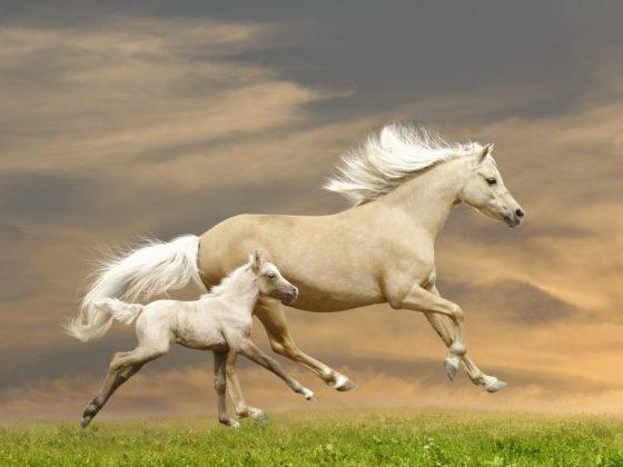 Если лошадь скачет вместе с жеребенком во сне, то исполнится мечта