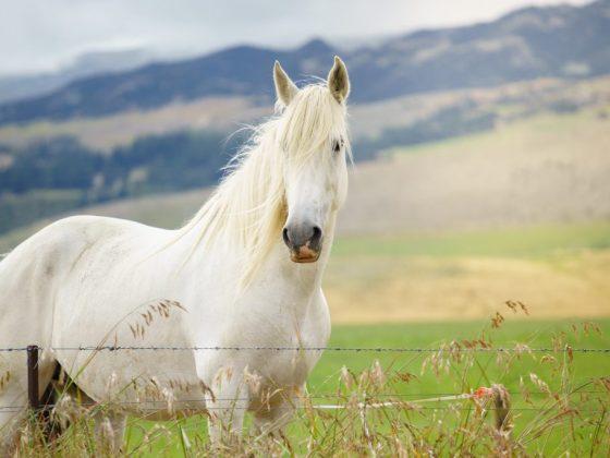 Молодой девушке белая лошадь предвещает свадьбу