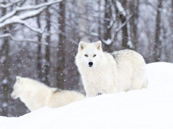Приручить волка является хорошим знаком