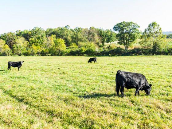 Большая черная корова предвещает богатство