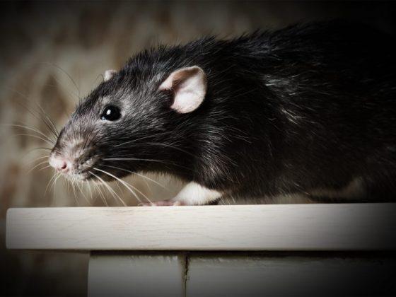 Крыса символизирует неприятности