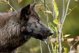 Сон о черном волке
