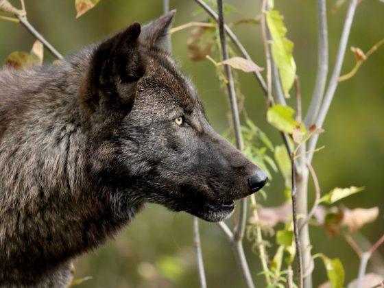 Волк символизирует покровителя