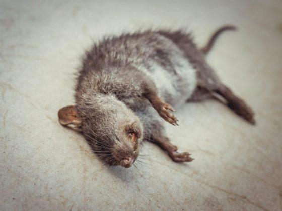 Мёртвая крыса предвещает предательство