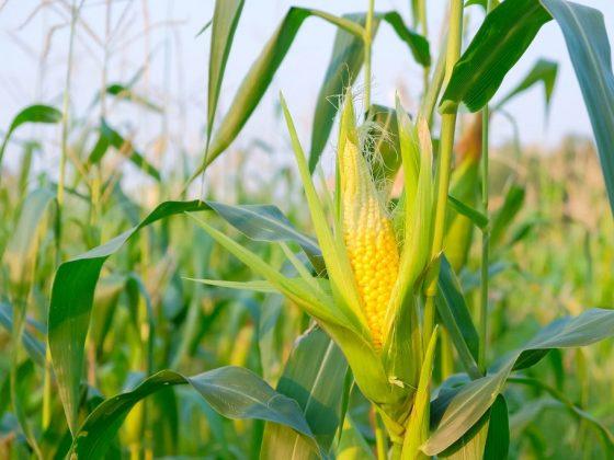 Цветущая кукуруза предвещает осуществление задуманного