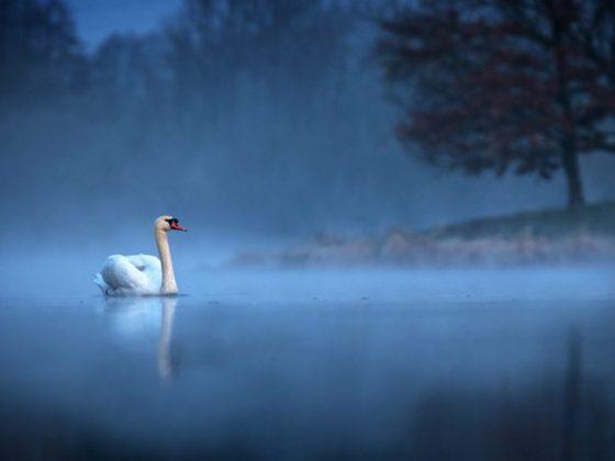 Одинокий лебедь снится к расставанию с дорогим человеком