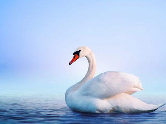 По соннику Эзопа, белый лебедь сулит знакомство с добрым человеком