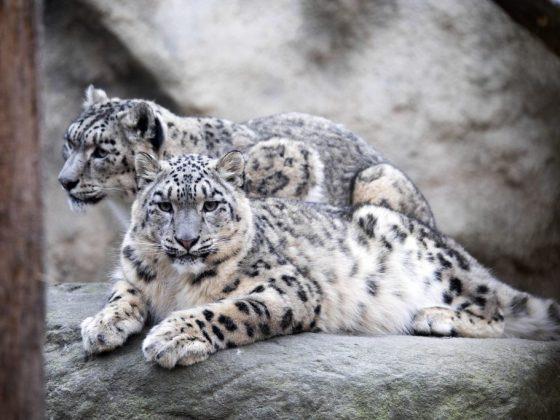 Белый леопард предвещает опасное приключение