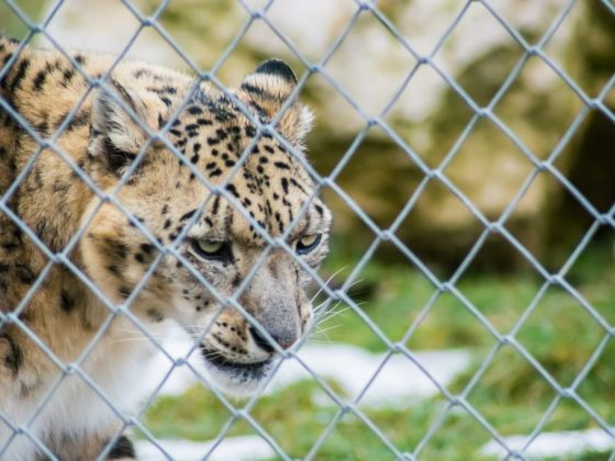Помещать леопарда в клетку – к избавлению от врагов