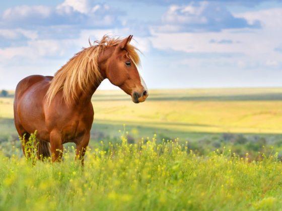 Лошадь может предвещать знакомство