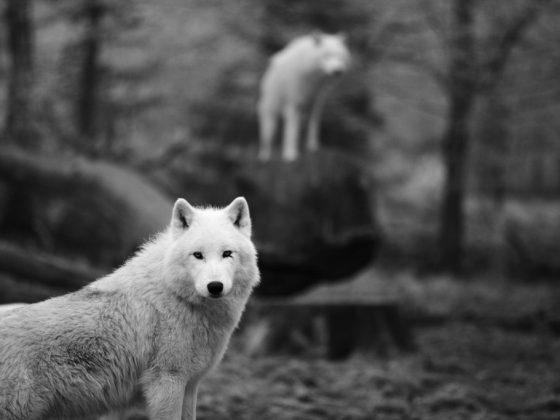 Видеть белого волка во сне – к успешному выявлению предателя