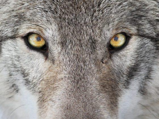 Фрейд считал, что серый волк во сне символизирует слабость характера спящего