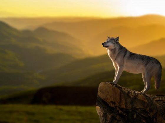 По мнению Нострадамуса, волк во сне обозначает стремление к независимости