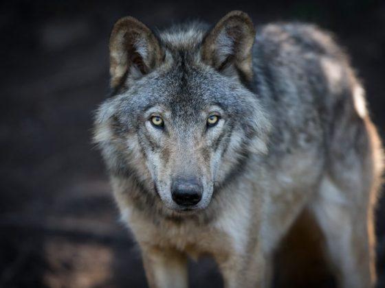 Эзоп утверждал, что серый волк символизирует опасного противника