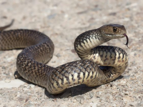 Ядовитая змея символизирует проигрыш