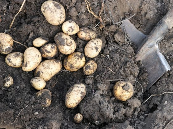 Выгребать картофель с помощью лопаты предвещает раскрытие тайны