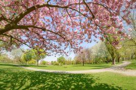 Цветущее дерево во сне
