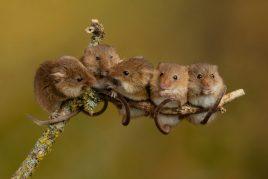 Что символизируют мыши во сне