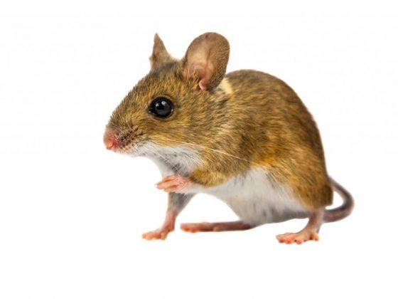Мыши не сулят хорошего