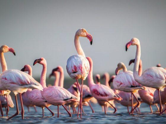 Какое значение в соннике имеет фламинго