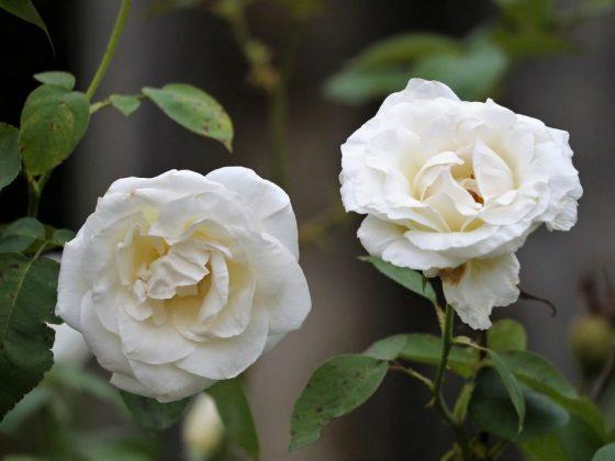К чему дарят белые розы жене примета