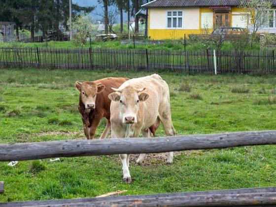 Видеть во сне быка — значение по соннику
